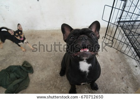 Cool Bulldog Black Adorable Dog - stock-photo-french-bulldog-black-dog-sitting-and-look-up-cute-dog-670712650  HD_964115  .jpg