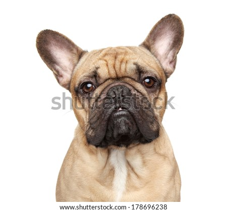 French bulldog. Close-up portrait Isolated on a white background. - stock photo