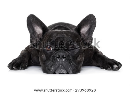 french bulldog dog exhausted or tired ,watching and staring at you like a control freak, isolated on white background - stock photo