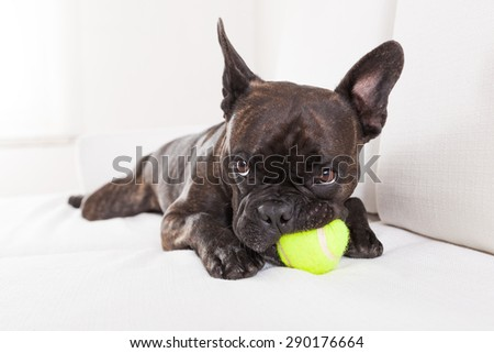 french bulldog dog having  a good time with a tennis ball, in living room , looking at owner very carefully - stock photo