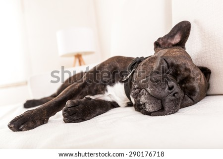 french bulldog dog having a sleeping and  relaxing a siesta in living room - stock photo