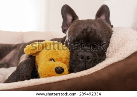 french bulldog dog having a sleeping and  relaxing a siesta in living room, with doggy teddy bear - stock photo