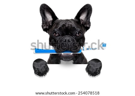french bulldog dog holding electric toothbrush with mouth , behind  blank white banner,isolated on white background - stock photo