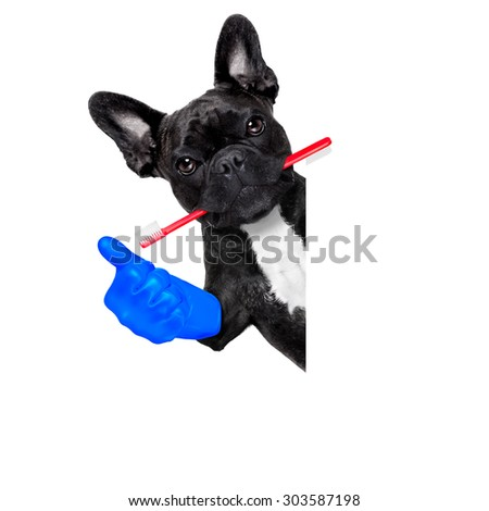 french bulldog dog holding toothbrush with mouth at the dentist or dental veterinary, isolated on white background, thumb up - stock photo