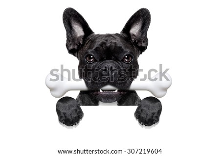 french bulldog dog  hungry with a big bone in mouth, behind a white blank banner or placard, isolated on white background - stock photo
