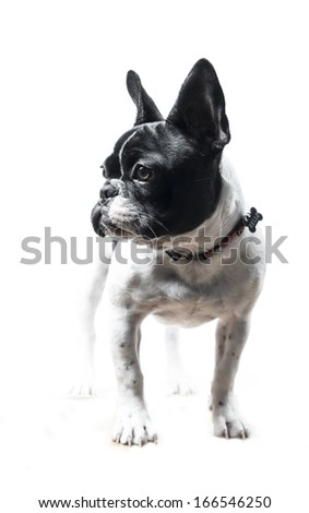 French Bulldog dog in studio - stock photo