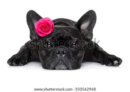 french bulldog  dog looking and staring at you   ,while lying on the ground or floor, with a valentines rose on head and on floor, isolated on white background, rose on head and on floor, - stock photo
