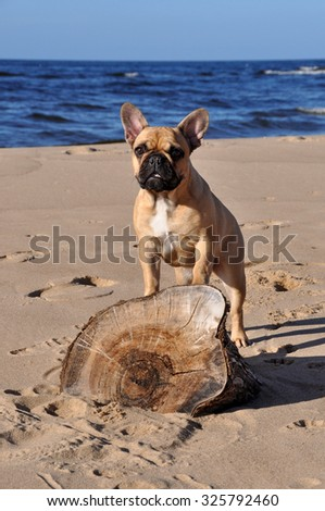 French Bulldog dog on the sea