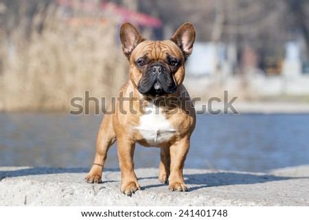 French bulldog dog portrait - stock photo