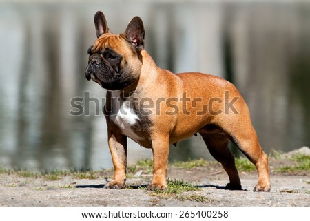 French bulldog dog portrait