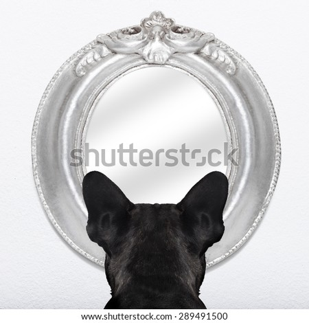 french bulldog dog staring  or looking  at the mirror on the white wall - stock photo