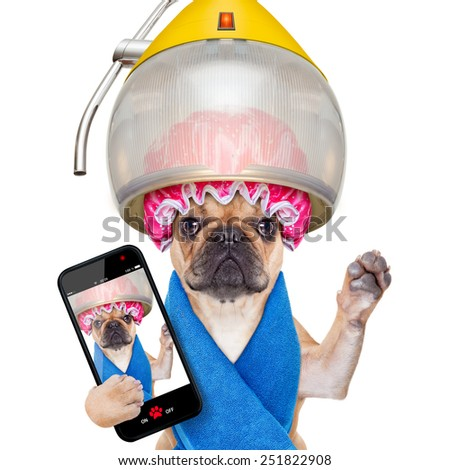 french bulldog dog  under hood dryer , drying hair ,taking a selfie and sharing  the new hairstyle , isolated on white background - stock photo