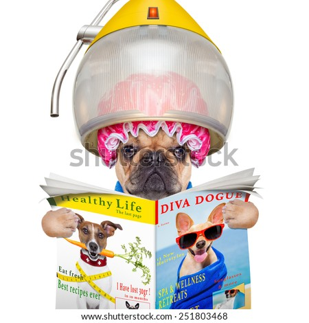 french bulldog dog  under the hood dryer , drying hair ,reading a newspaper or magazine, isolated on white background - stock photo