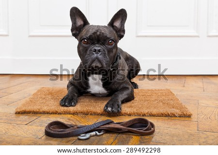 french bulldog dog waiting and begging to go for a walk with owner , sitting or lying on doormat - stock photo
