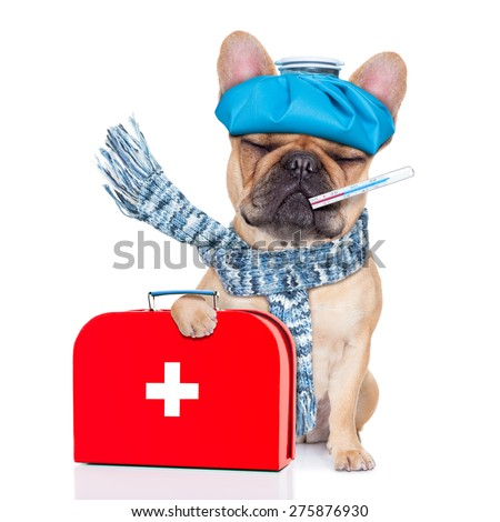 french bulldog dog  with  headache and hangover with ice bag or ice pack on head,thermometer in mouth with high fever, holding   first aid kit, eyes closed and suffering , isolated on white background - stock photo