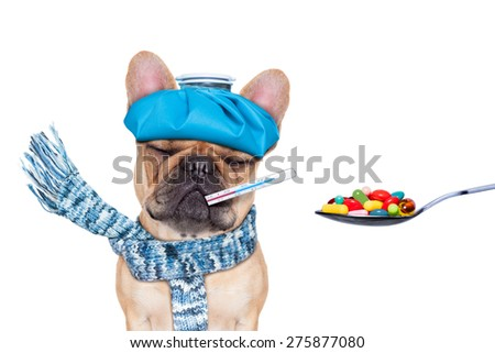 french bulldog dog  with  headache and hangover with ice bag or ice pack on head,thermometer in mouth with fever, eyes closed suffering ,medication of  pills in a spoon,  isolated on white background - stock photo