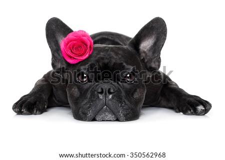 french bulldog  dog with valentines  rose on head , isolated on white background - stock photo