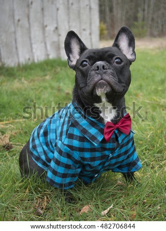 French bulldog dressed up in plaid shirt and bowtie