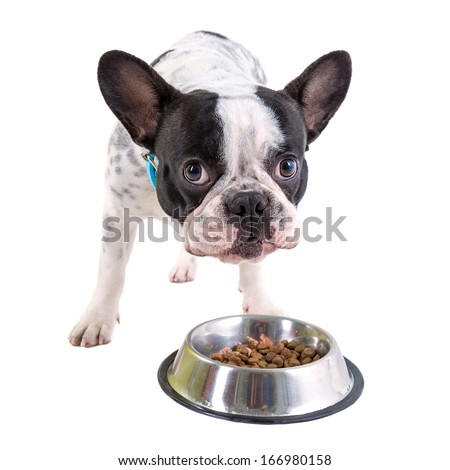 French bulldog eating dog food from his bowl - stock photo