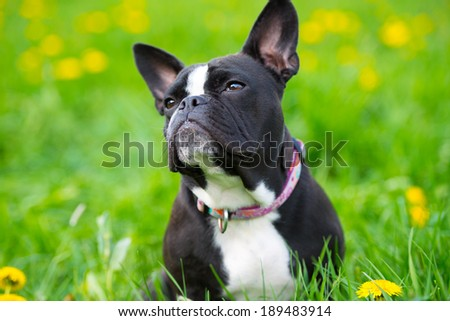 French bulldog in a spring meadow