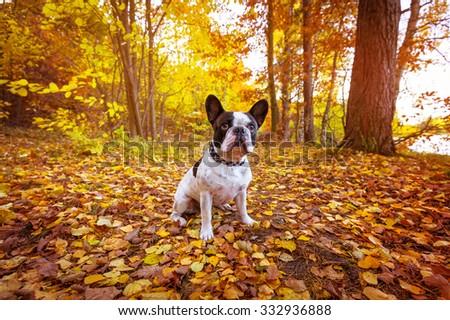 French bulldog in autumnal scenery - stock photo