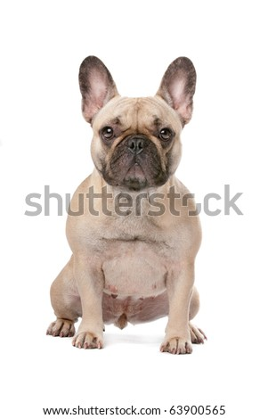 French bulldog in front of a white background - stock photo
