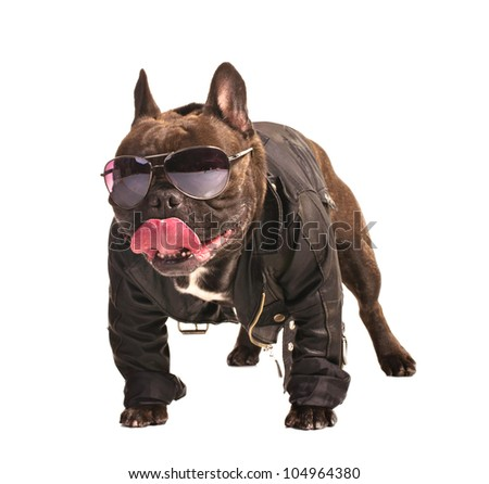 french bulldog in leather biker jacket isolated on white - stock photo