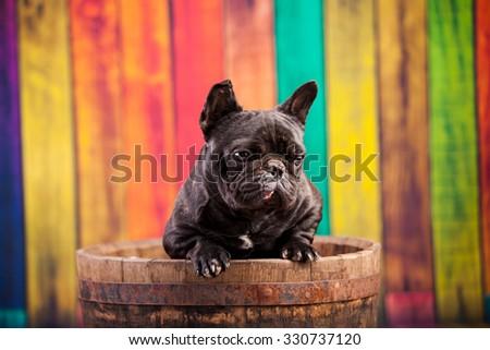 french bulldog in old barrel - stock photo