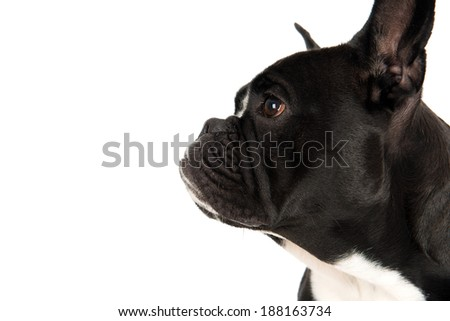 French bulldog in profile