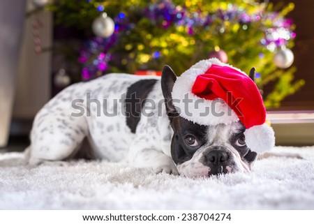 French bulldog in santa hat under christmas tree - stock photo