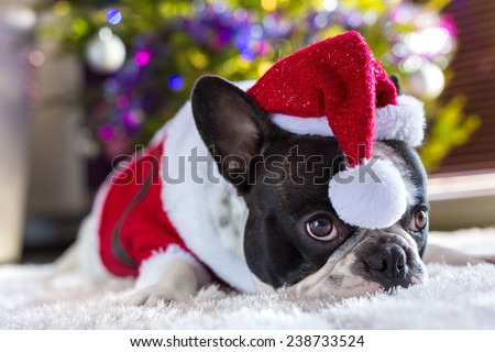 French bulldog in santa hat under christmas tree - stock photo