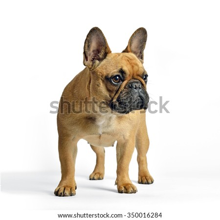 french bulldog in studio, looking, white background