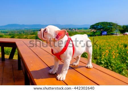French Bulldog in sun flower field - stock photo