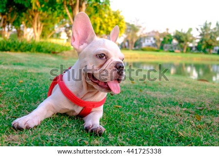 French bulldog in Town - stock photo