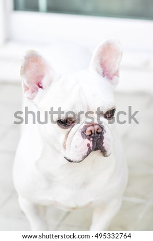 French bulldog is standing on the floor