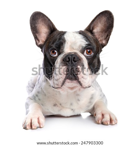 French bulldog isolated on white background - stock photo