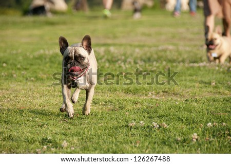 French Bulldog leading the pack
