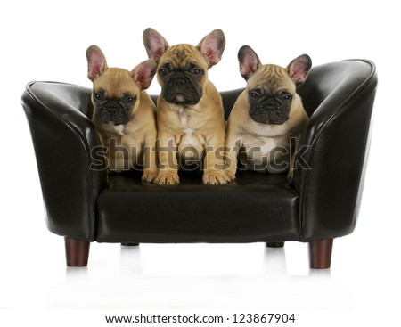 french bulldog litter - three frenchies sitting on a dog couch isolated on white background - stock photo