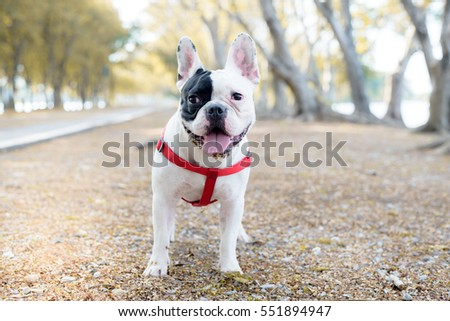 French bulldog looking happy