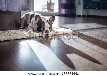 French bulldog lying down in sunny living room - stock photo