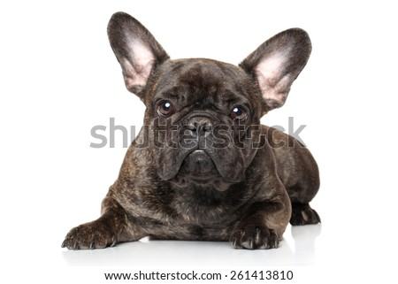 French bulldog lying down on a white background - stock photo