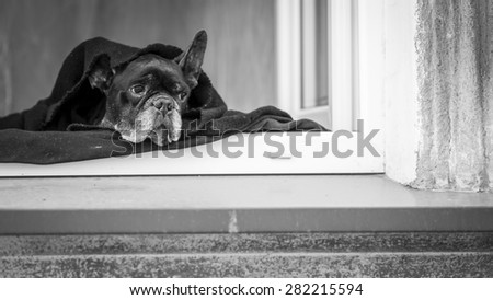 French Bulldog lying on the windowsill of the house. Black and white photography. - stock photo