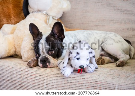 French bulldog lying with his teddy bears - stock photo