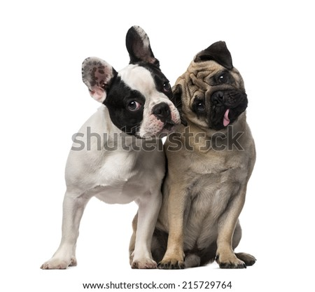 French Bulldog (7 months old), Pug (8 months old) - stock photo