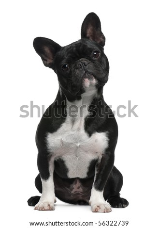French Bulldog, 11 months old, sitting in front of white background