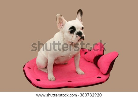 French Bulldog on a lounger. isolated on a light background - stock photo