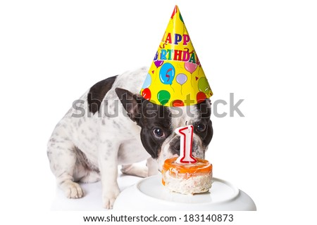 French bulldog on his first birthday with doggy cake