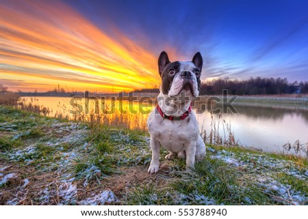 French bulldog on the walk at sunrise