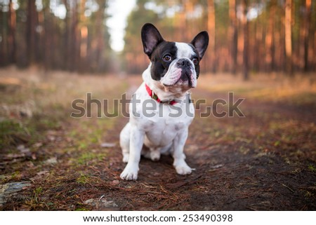 French bulldog on the walk in forest  - stock photo