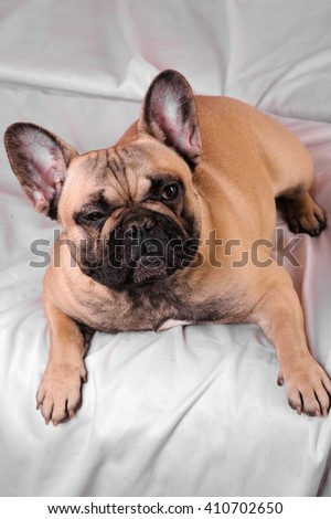 french bulldog on white background